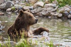Urso de Grizzley que forrageia para o alimento Fotos de Stock
