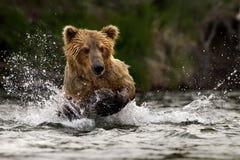 Urso de Grizzley que forrageia para o alimento Foto de Stock