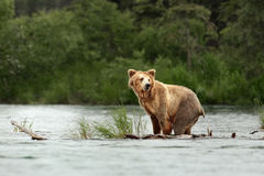 Urso de Grizzley que forrageia para o alimento Foto de Stock Royalty Free