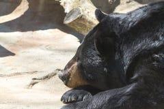 Urso de Grizzley que forrageia para o alimento Fotografia de Stock Royalty Free