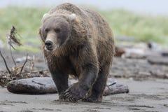 Urso de Grizzley que forrageia para o alimento Imagem de Stock Royalty Free