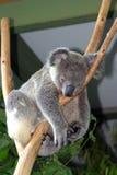 Urso de Koala imagem de stock royalty free
