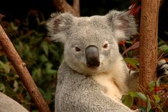 Urso de Koala alerta Imagem de Stock Royalty Free