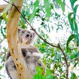 Urso de koala australiano foto de stock royalty free