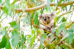 Urso de koala australiano imagens de stock royalty free