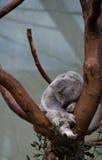 Urso de koala do sono em uma filial Imagens de Stock