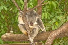 Urso de Koala em uma árvore foto de stock royalty free