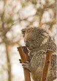 Urso de Koala em uma árvore fotos de stock