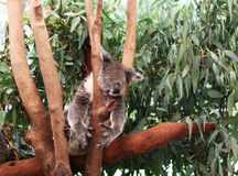 Urso de Koala que tem um sono Fotos de Stock Royalty Free