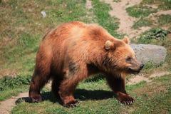 Urso de Kodiak foto de stock