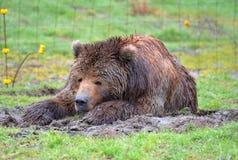 Urso de Kodiak que coloca sobre na grama imagem de stock