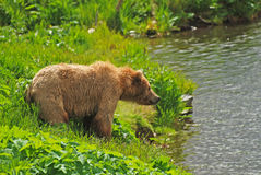 Urso de Kodiak que olha fixamente através da lagoa fotos de stock royalty free