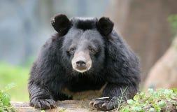 Urso de mel no vindo mais perto foto de stock
