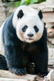 Urso de panda Fotos de Stock