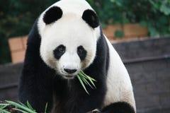 Urso de panda gigante Imagens de Stock
