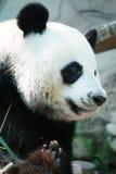 Urso de panda gigante Fotografia de Stock Royalty Free