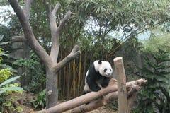 Urso de panda gigante com fome que come o bambu e que assenta no ramo Foto de Stock Royalty Free