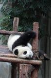 Urso de panda gigante (filhote) Imagem de Stock