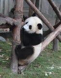 Urso de panda gigante (filhote) Foto de Stock