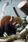 Urso de panda vermelha na árvore Fotos de Stock Royalty Free