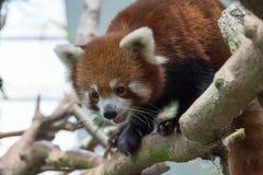 Urso de panda vermelha na árvore Imagens de Stock