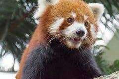 Urso de panda vermelha na árvore Imagem de Stock