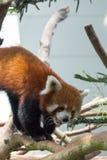 Urso de panda vermelha na árvore Imagens de Stock Royalty Free