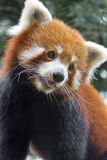 Urso de panda vermelha na árvore Foto de Stock