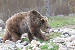 Urso de passeio Fotografia de Stock