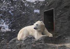 Urso de Pollar Imagens de Stock