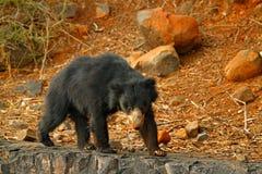 Urso de preguiça selvagem, ursinus do Melursus, parque nacional de Ranthambore, Índia Urso de preguiça que olha fixamente diretam Imagem de Stock Royalty Free