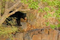 Urso de preguiça selvagem, ursinus do Melursus, Ranthambore Ppark nacional, Índia Urso de preguiça que olha fixamente diretamente Foto de Stock Royalty Free