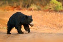 Urso de preguiça, ursinus do Melursus, parque nacional de Ranthambore, Índia Urso de preguiça selvagem que olha fixamente diretam Fotografia de Stock