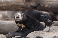 Urso de Sun com um corvo Fotografia de Stock Royalty Free