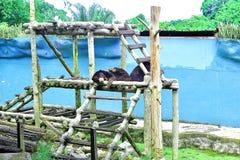 Urso de Sun que descansa em seu relvado nesta explora??o agr?cola animal em Kuching, Sarawak foto de stock