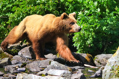 Urso de urso de Alaska Brown no movimento Imagens de Stock
