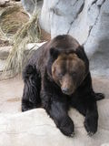 Urso de urso grande Fotografia de Stock