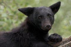 Urso desconcertado Foto de Stock