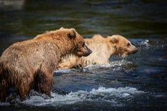 Urso do Alasca Cubs de Brown Imagens de Stock