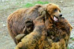 Urso do irmão imagens de stock
