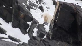 Urso do mar branco na neve em uma tundra gelada desolada de Spitsbergen video estoque