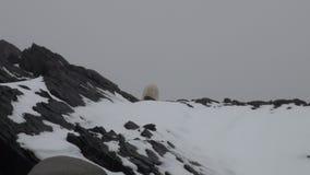 Urso do mar branco na neve em uma tundra gelada desolada de Spitsbergen vídeos de arquivo