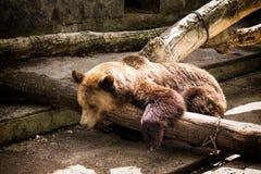 Urso do russo fotografia de stock royalty free