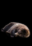 Urso do sono Foto de Stock