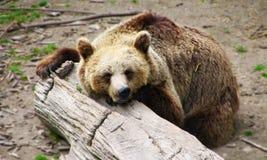 Urso do sono imagem de stock royalty free