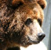 Urso do urso Fotografia de Stock