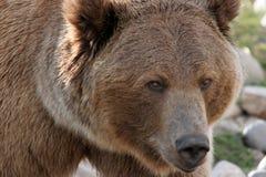 Urso do urso fotografia de stock royalty free