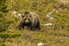 Urso do urso Imagens de Stock Royalty Free