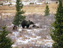 Urso do urso com dois filhotes imagem de stock