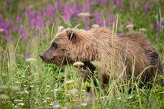 Urso e azaléia de Brown foto de stock royalty free
